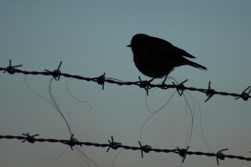 On a barbed-wire - Click to go back