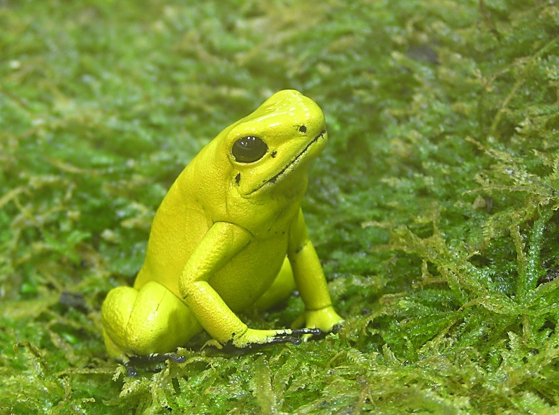 Yellow frog - Click to go back