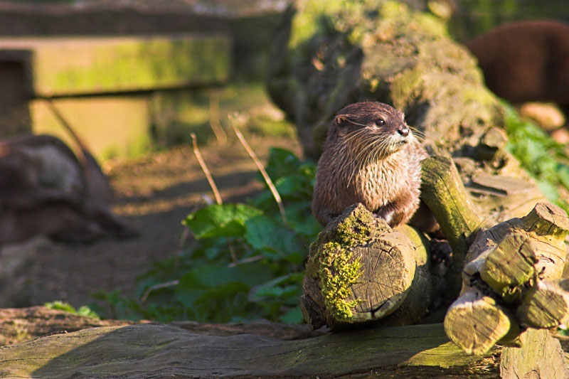 Otter at rest - Click to go back